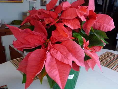 Christmas poinsettia from weekday school parents